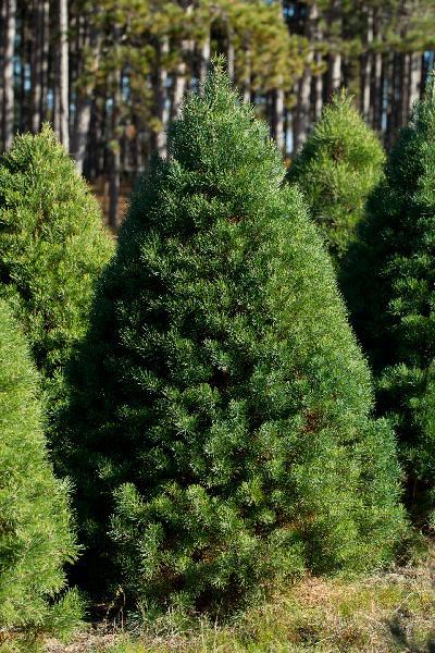 Shearing Christmas Trees
